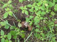Popatrzcie Państwo co robią ślimaki